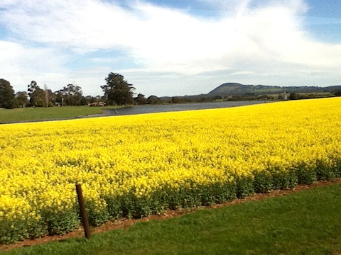 Golden canola and Mt Buninyong