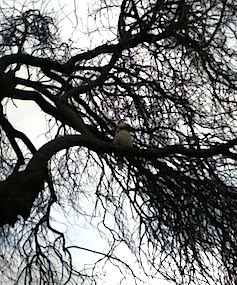 Kookaburra in old plum tree