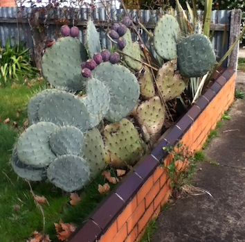 Prickly pear invasion